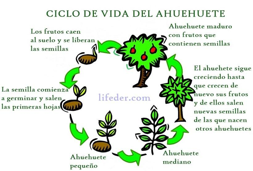 Ahuehuete: Ciclo de Vida, Significado y Características - Lifeder