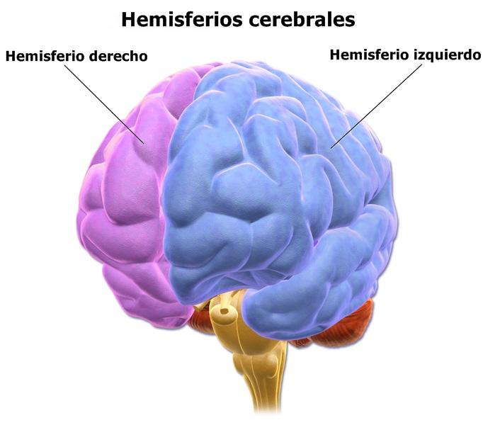 Hemisferios Cerebrales Diferencias Funciones Y Partes
