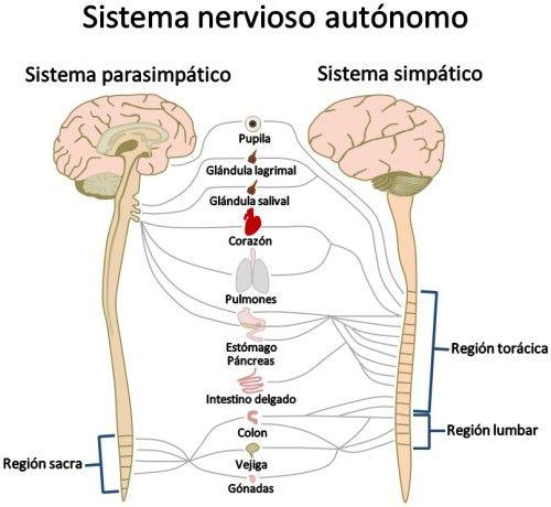 Circuito Nervioso : Sistema nervioso periférico partes y funciones con imágenes