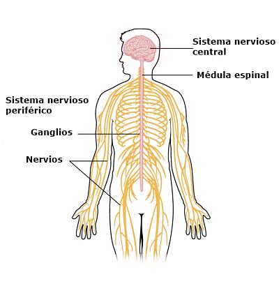 Resultado de imagen de Sistema nervioso periférico