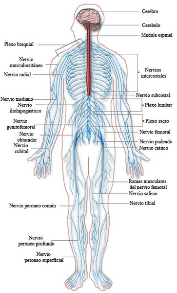 Sistema Nervioso Periférico: Partes y Funciones (con Imágenes)