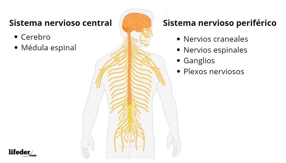 Sistema Nervioso Periférico Funciones Partes Y Enfermedades