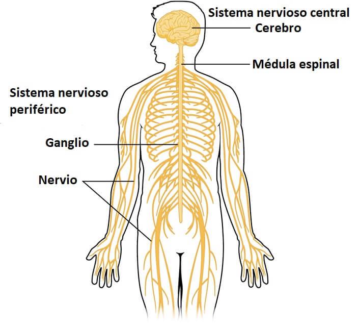 Sistema nervioso periférico: partes y funciones - Lifeder