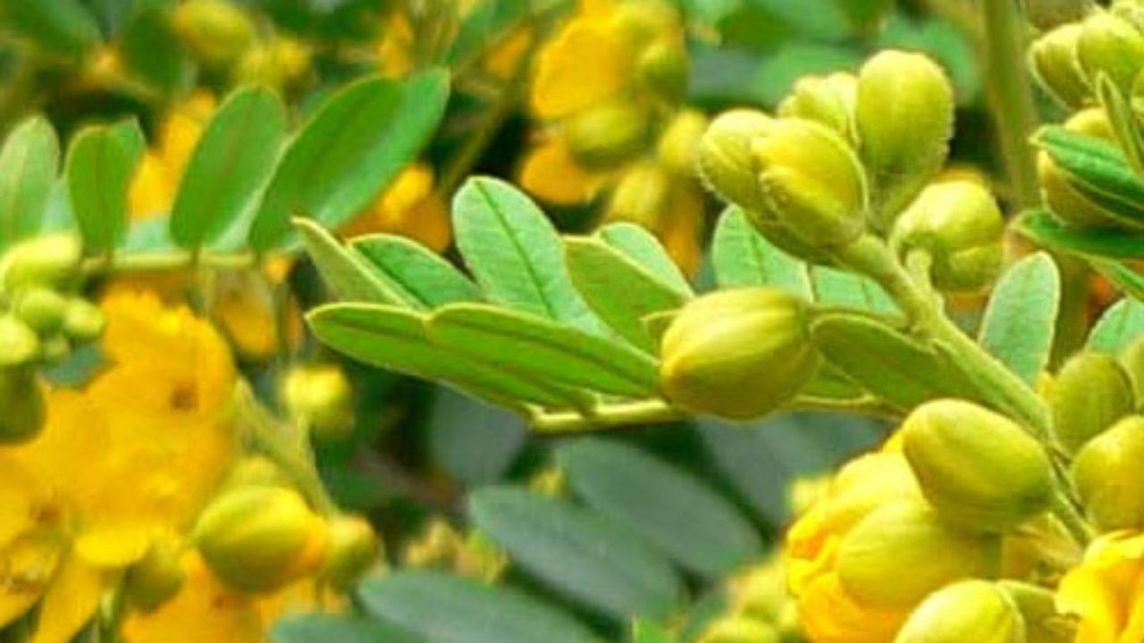 Para que sirve la planta cassia angustifolia