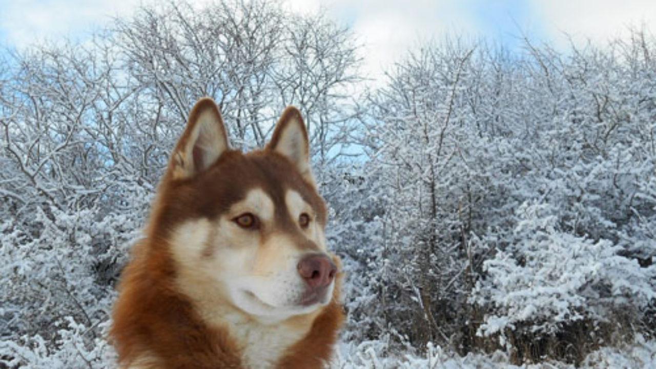 Los 5 Tipos de Husky: Características y Comportamiento - Lifeder