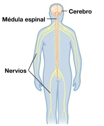 Médula Espinal: Partes y Funciones (con Imágenes)