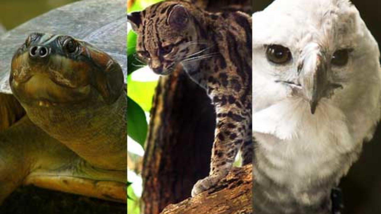 20 Animales En Peligro De Extincion En Venezuela Lifeder
