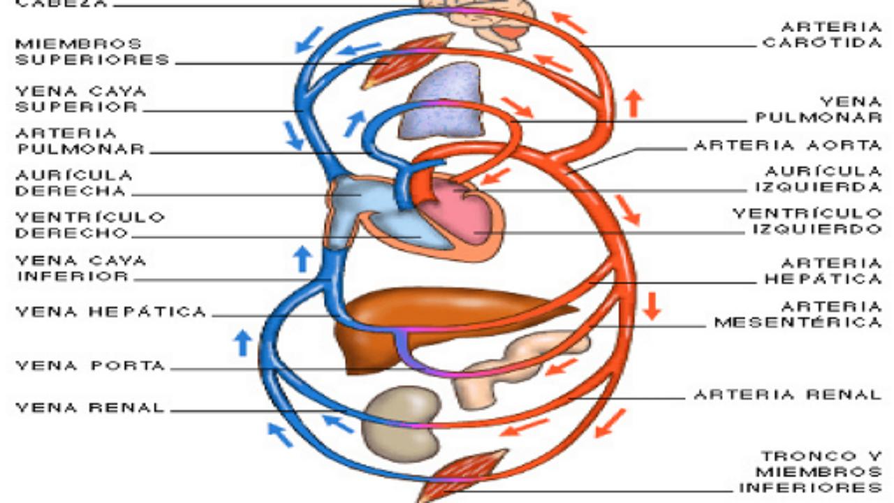 cavidades arterias y venas del corazon