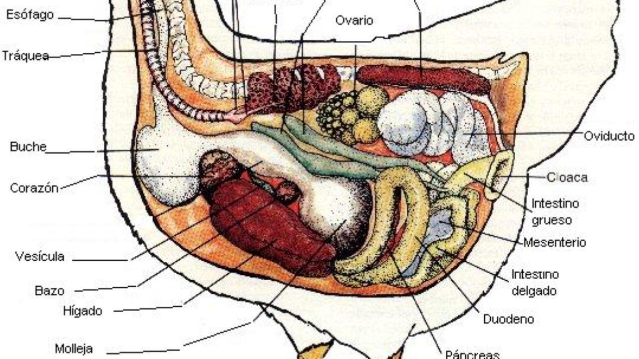 funcion del intestino delgado en el sistema digestivo