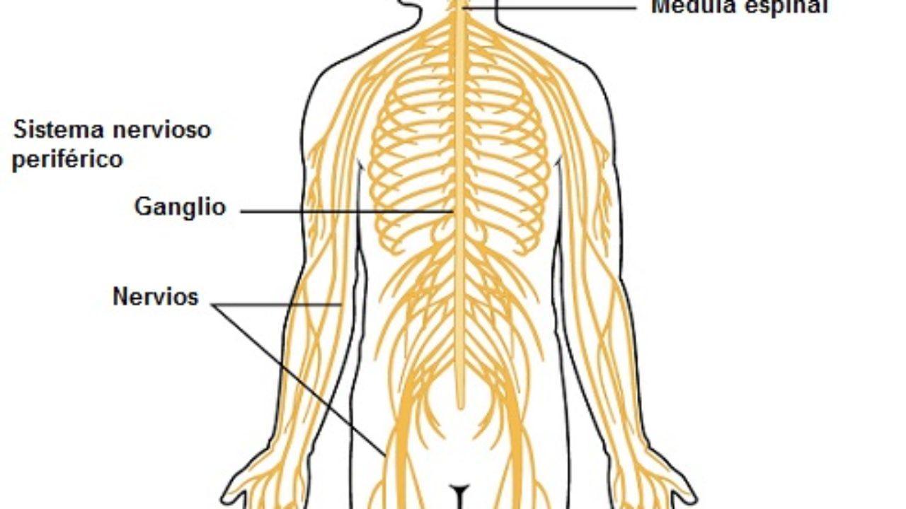 Sistema Nervioso Central Partes Y Funciones Con Imágenes