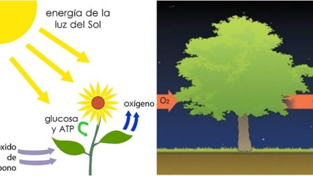 Cuáles Son Las Diferencias Entre Fotosíntesis Y Respiración