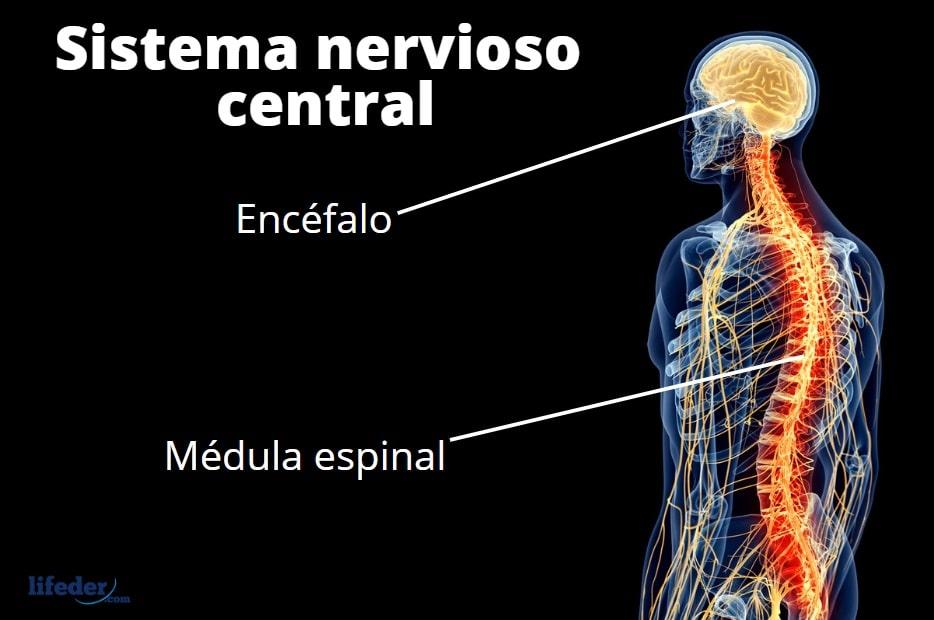 Sistema Nervioso Central Funciones Partes Enfermedades
