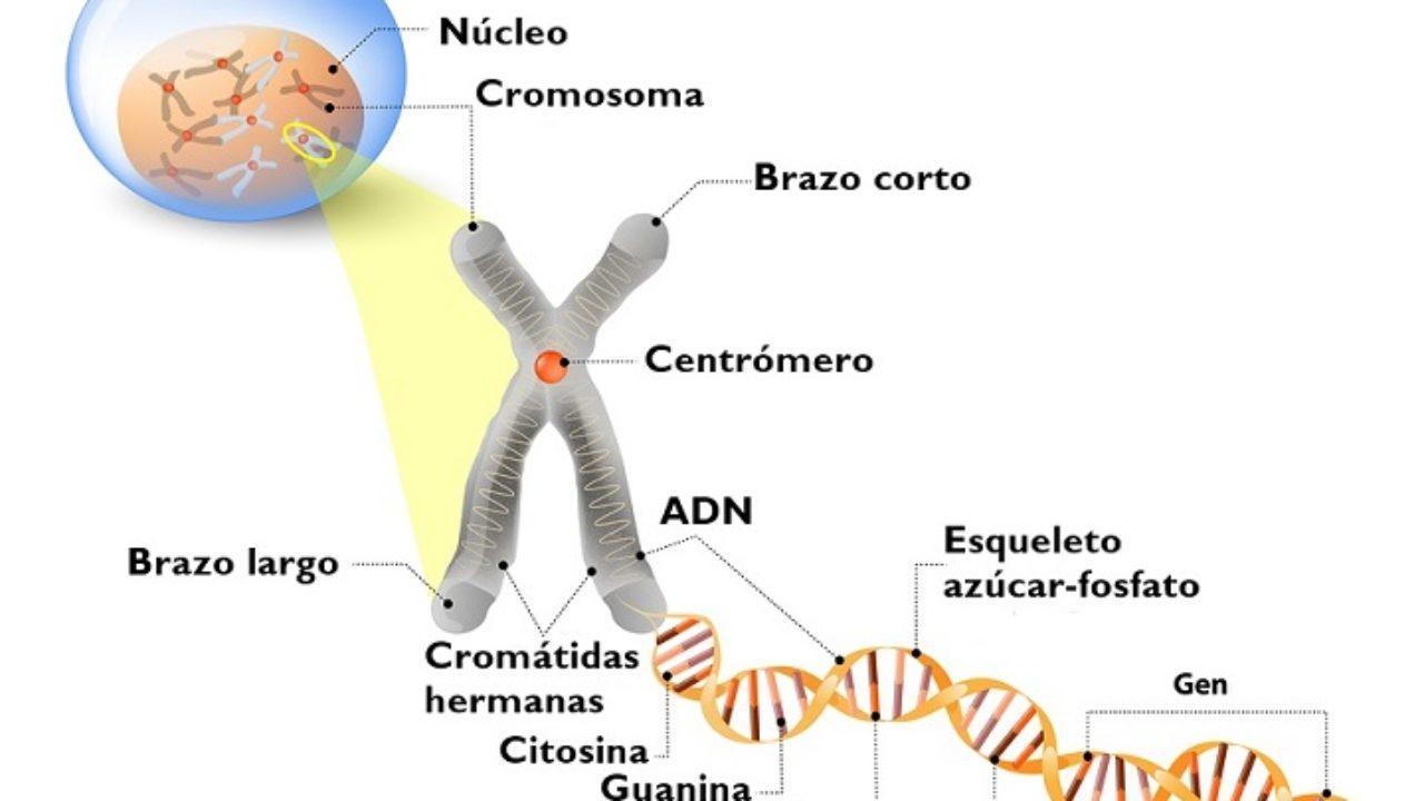 Cromosomas Descubrimiento Tipos Función Estructura Lifeder