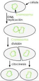 Wiki asexual reproduction in bacteria
