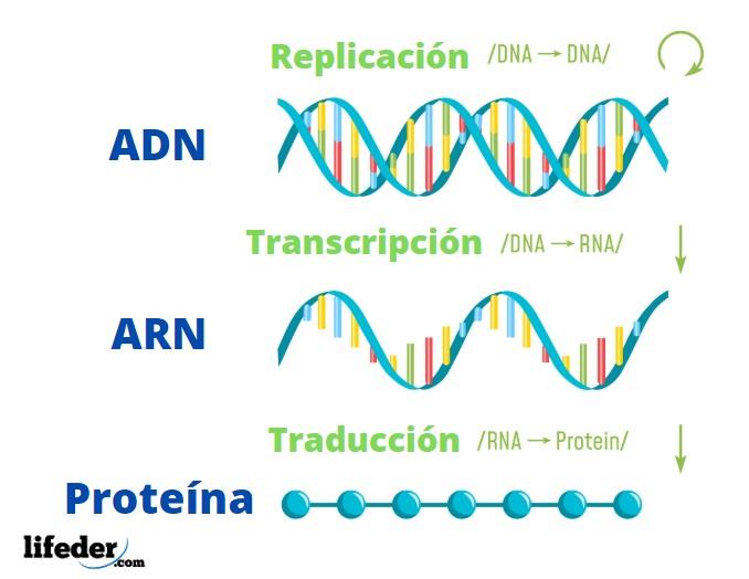 Dogma Central De La Biologia Molecular Moleculas Y Procesos