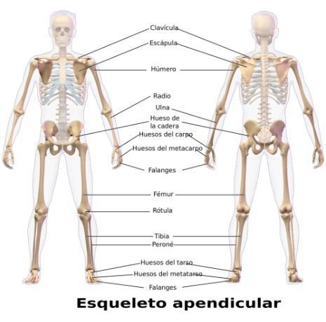 Qué es el esqueleto apendicular? - Lifeder