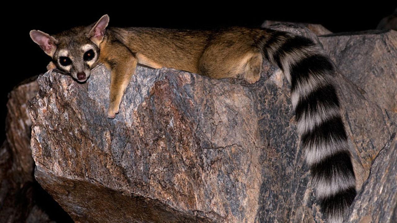 Cacomixtle: características, hábitat, reproducción, alimentación ...