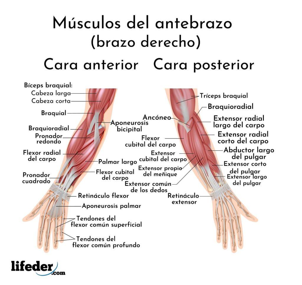 Músculos Del Brazo Y Antebrazo Descripción Y Funciones Imágenes