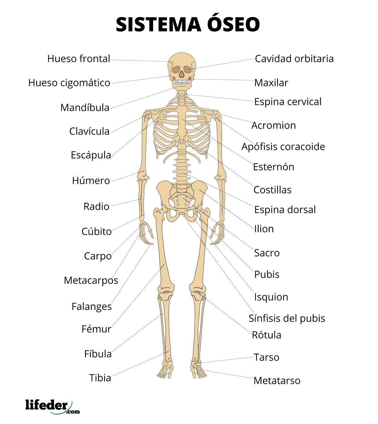 aparatul osteoarticular)