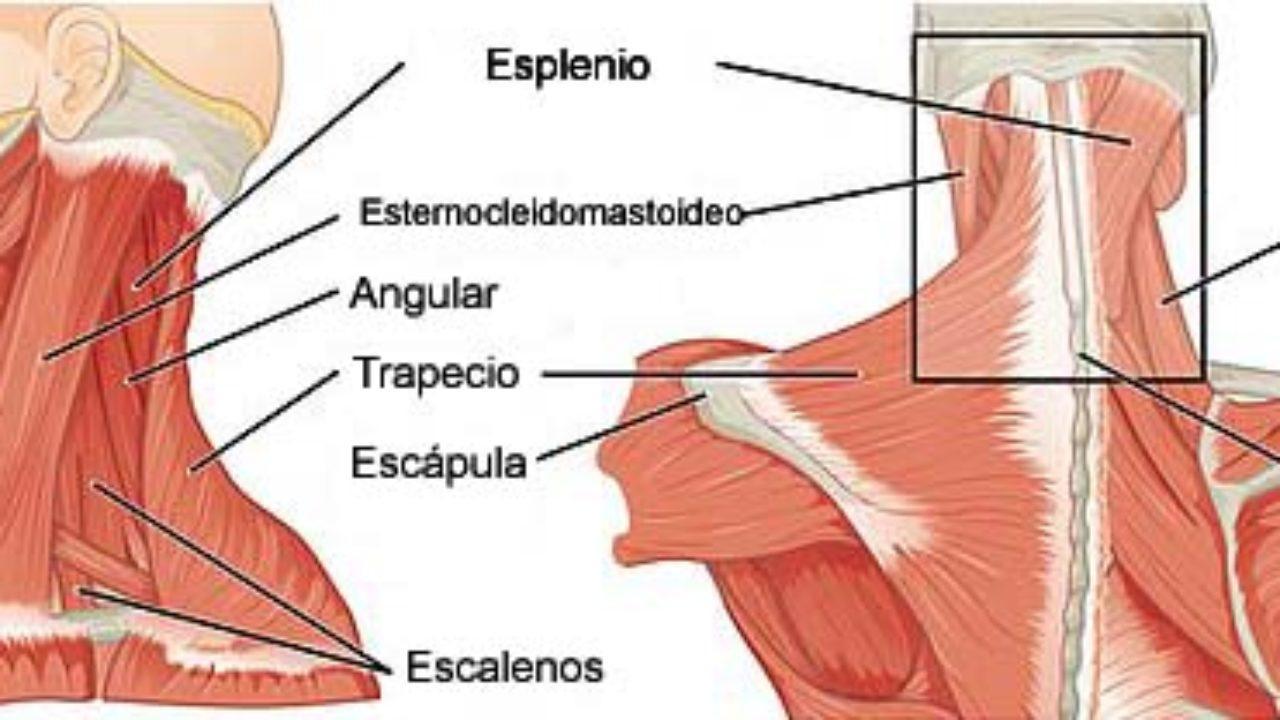 Grafica los grandes grupos musculares del cuerpo humano