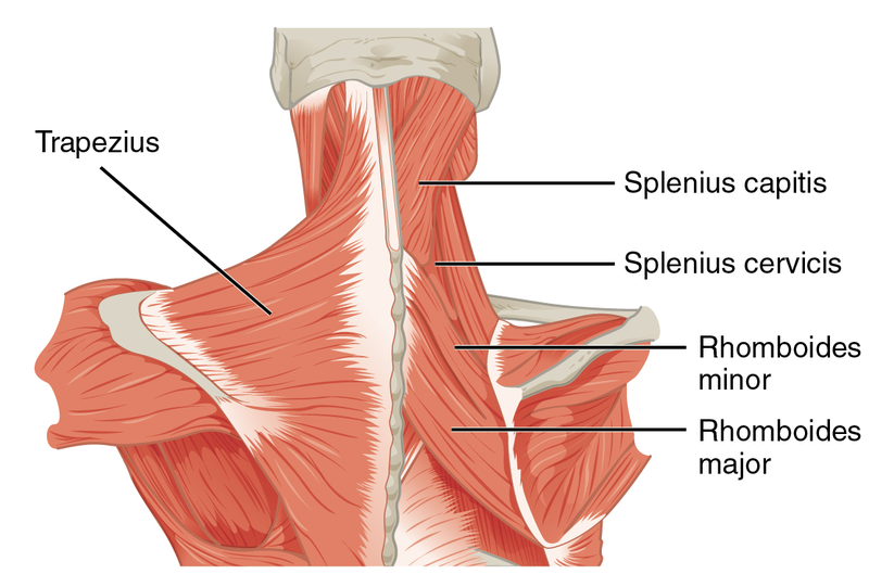 Músculos del Cuello: Clasificación y Funciones - Lifeder