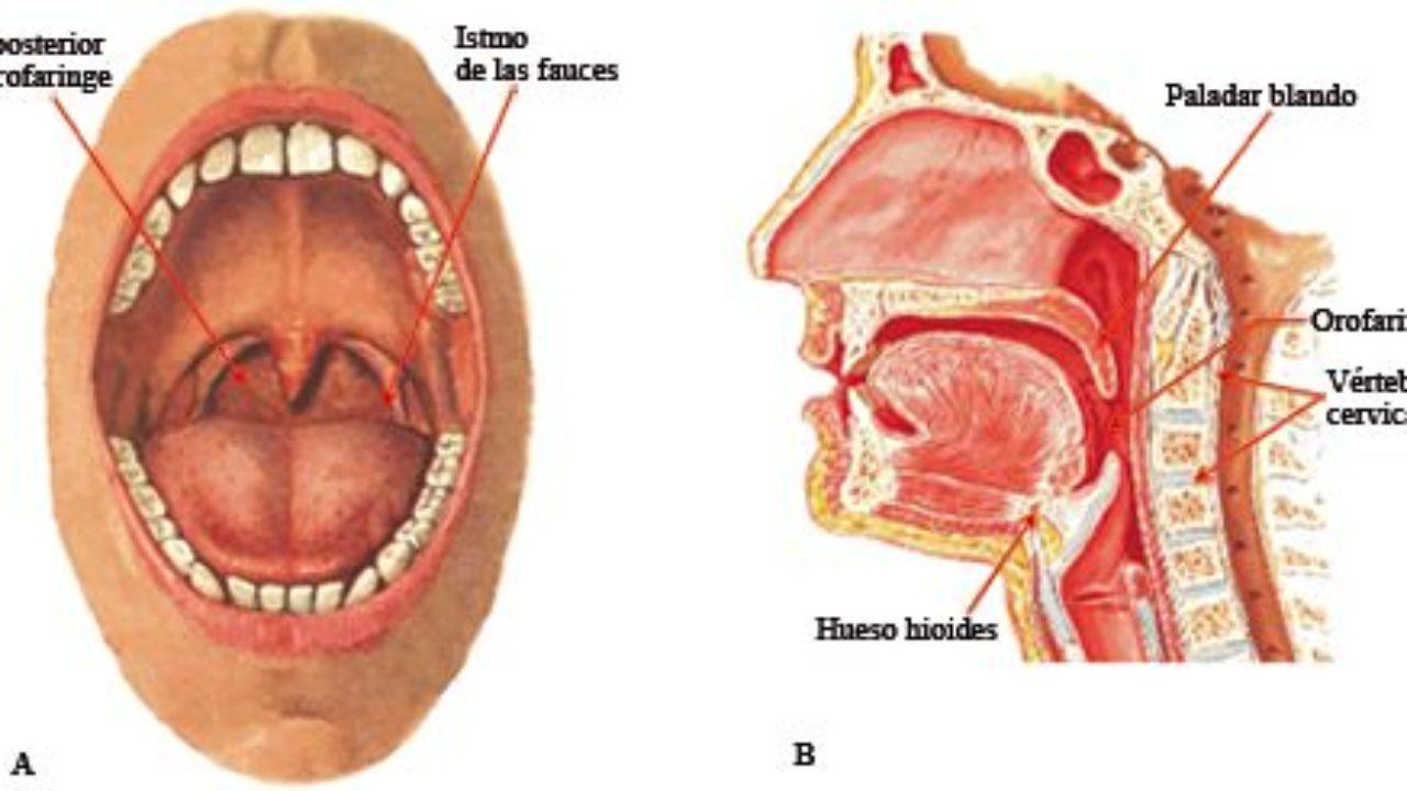 Istmo De Las Fauces Anatomía Funciones Enfermedades Lifeder