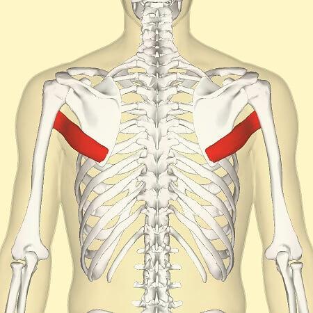 Músculos del Hombro y sus Funciones - Lifeder