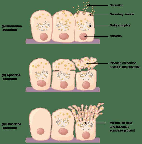 Epitelio Glandular: Características, Clasificación y Funciones - Lifeder