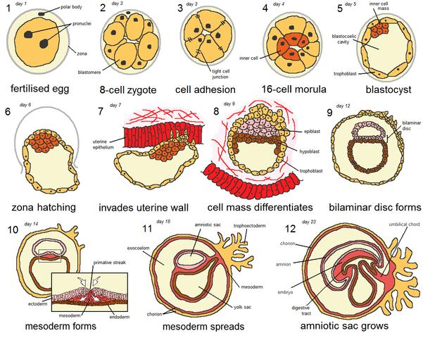 58d7d2d2d Desarrollo Embrionario  Etapas y sus Características (Semana a ...