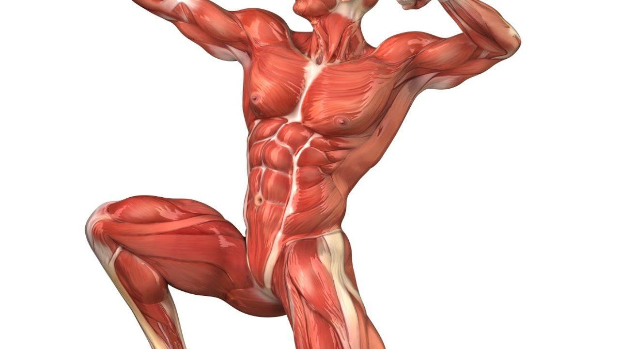 musculatura miembro inferior pdf