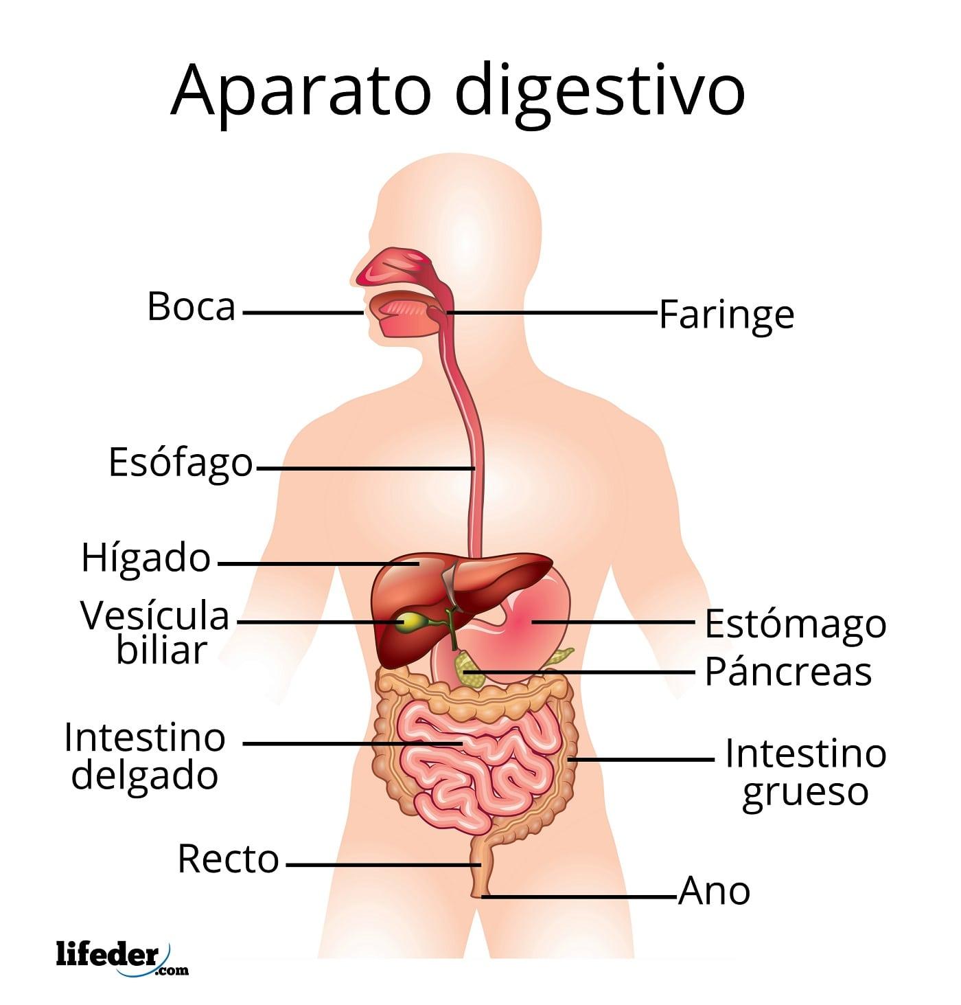 Aparato Digestivo Funciones Partes Enfermedades