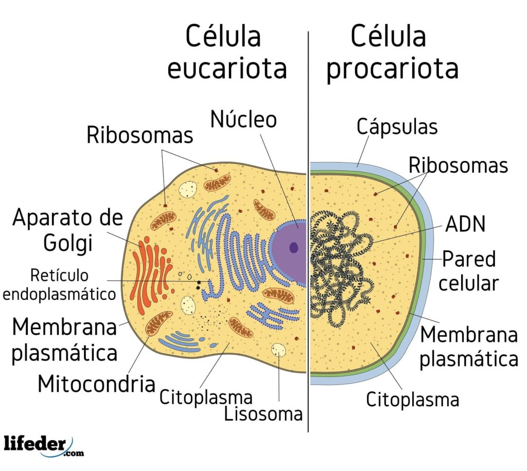 Célula Eucariota Características Partes Funciones Tipos