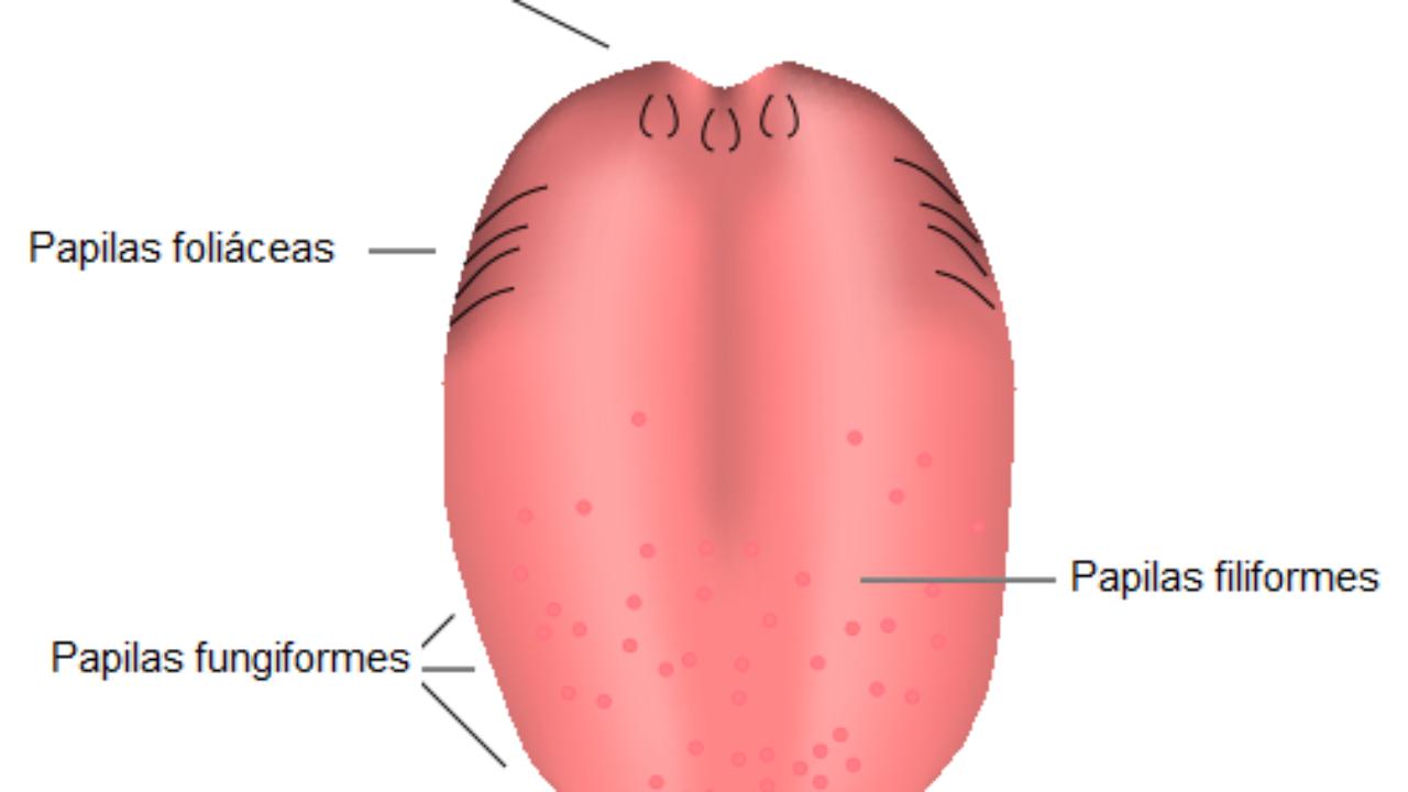 Papilas Filiformes Características Funciones Y Estructura