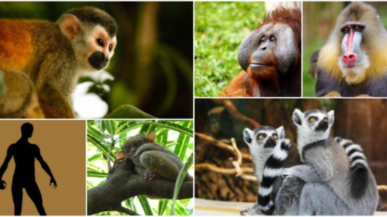 Primates Características Evolución Alimentación