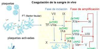 modelo-celular-de-la-coagulacion