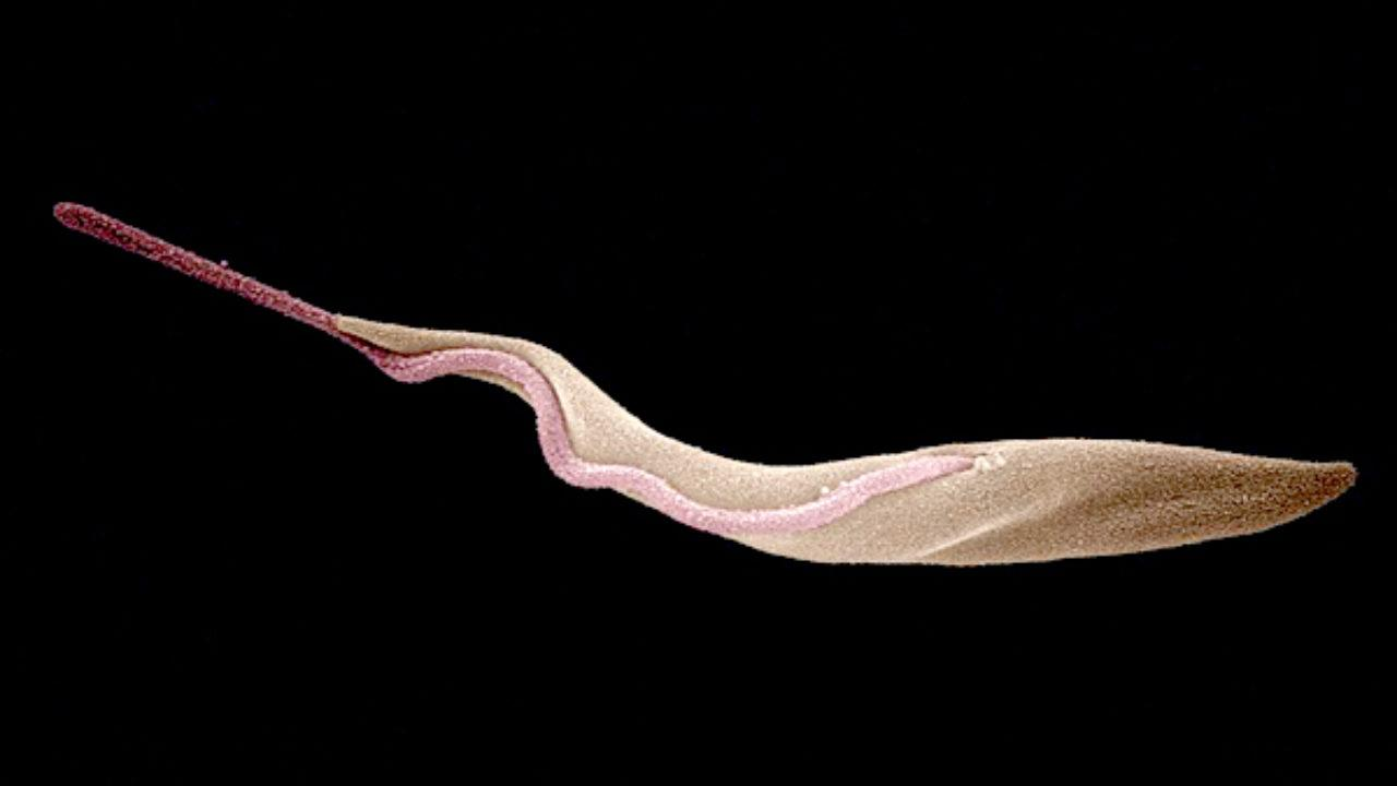 trypanosoma reproduccion