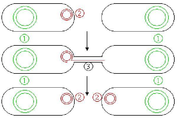 Conjugación Bacteriana Proceso Estructura Y Factores Lifeder