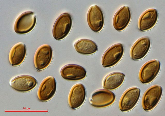 Psilocybe cubensis: características, hábitat, usos, cultivo - Lifeder