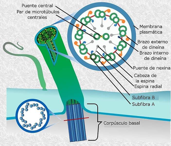 Flagelos Eucariota Procariota Estructura Y Funciones