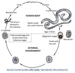 aszcariasis morfológia