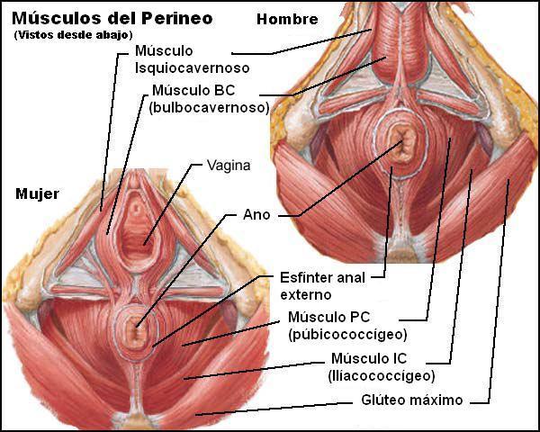 Músculos Del Tronco Y Sus Características Con Imágenes