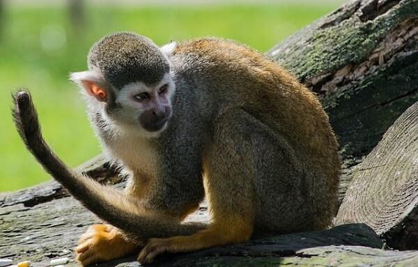 Mono araña: características, hábitat, reproducción, alimentación - Lifeder