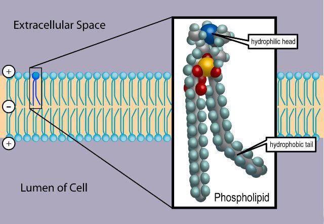 Fosfolípidos Características Estructura Funciones Tipos