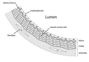 Células Endoteliales Características Estructura Tipos