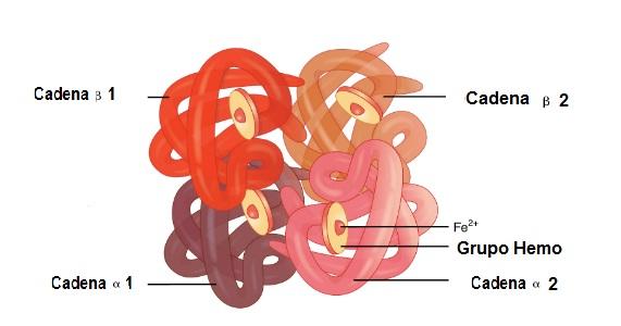 Globina Características Estructura Función Y Alteraciones
