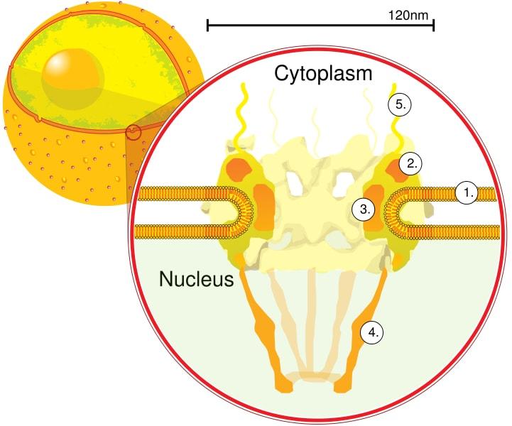 Poro Nuclear Características Funciones Componentes Lifeder