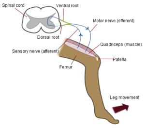 reflejo organo tendinoso de golgi