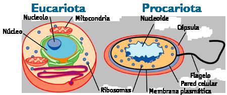 Tipos De Células Células Procariotas Células Eucariotas
