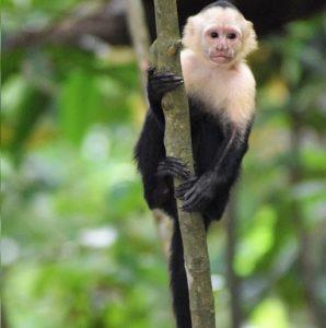 Monos Capuchinos Características Hábitat Especies