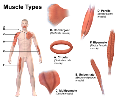 estructura y funcionamiento del musculo esqueletico